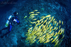 diving with school of blue striped snappers in water of K... by Boris Pamikov