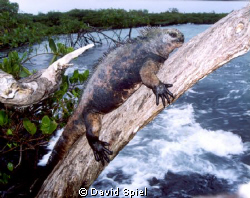 Here's a Marine Iguana in the Galapagos basking in the sun. by David Spiel