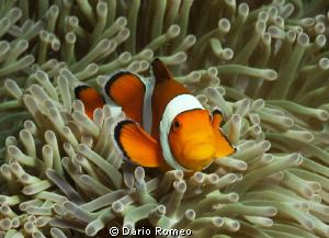 False clownfish - Amphiprion ocellaris in its natural hab... by Dario Romeo
