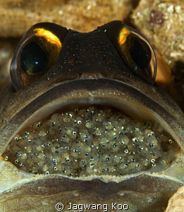 Jawfish with eggs by Jagwang Koo