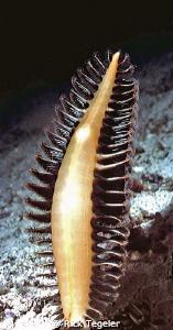 Sea Pen. by Rick Tegeler