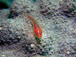 Coral Goby on a bed of blue coral. by Ahmed Shuhail