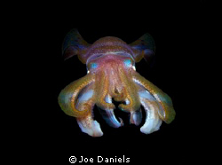 This image was taken with a 10-17mm fish eye. The squid w... by Joe Daniels