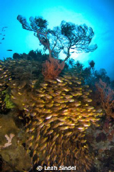 Schooling fish, and glassfish on a coral bommie in partic... by Leah Sindel