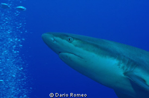 Shark Black tip,  during safety stop D90, 60 mm micro by Dario Romeo