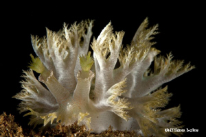 Frisee Lettuce (Marionia sp.) by William Loke