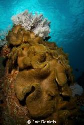 Gorgonian & Soft Coral by Joe Daniels