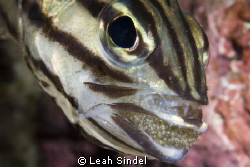 Mouth-brooding Cardinalfish require some patience to shoo... by Leah Sindel