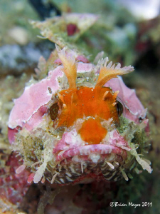 Scorpionfish disguised as harmless rabbit. ;-) by Brian Mayes