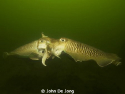 The mating of the Sepia is for many divers in the Netherl... by John De Jong