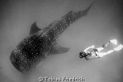 Snorkler with Whaleshark. by Tobias Friedrich
