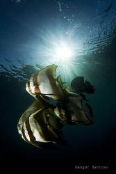 Batfishes by Sangut Santoso
