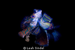 Mating mandarinfish with eggs by Leah Sindel
