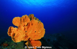 Mon Choisy,Mauritius 22/9/2011 Large Sea Fans are a fant... by Jean-Yves Bignoux