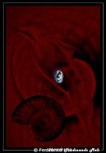 Ammonite ancestor of the squid. by Ferdinando Meli
