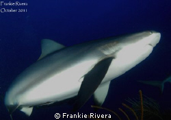 Caribbean Reef Shark swam over my head by Frankie Rivera