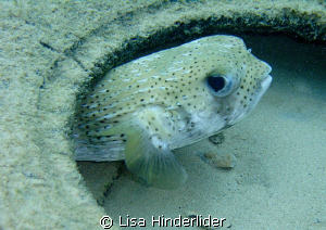 My puffer friend who hangs in his tire under the dock & g... by Lisa Hinderlider