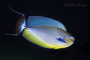 Bignose Unicornfish at Night in Maaya Thila - North Ari A... by Boris Pamikov