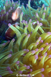 Some pink anemonefish who stuck around to pose for me.  S... by Barbara Toll