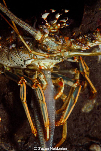 Lobster Dinner..... :) ok so she's not pretty-but have yo... by Suzan Meldonian