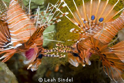 Lionfish fencing with antennae - this pair seemed to be t... by Leah Sindel