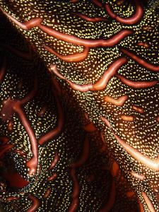 FLAT  Flatworm - Pseudobiceros bedfordi - Eleganter Str... by Jörg Menge