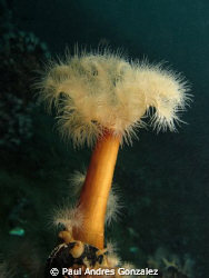 Argentine sea anemone by Paul Andres Gonzalez