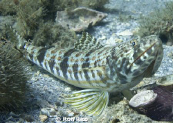 Big Fat Lizardfish