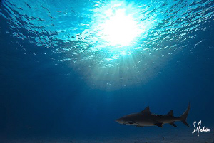Lemon Shark retires for the day at Tiger Beach. This guy ... by Steven Anderson