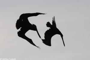 pelicans (Los Roques, Venezuela) by Mathieu Foulquié