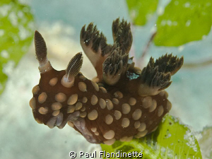 What a fasinating nudibranch - It reminds me of a mythica... by Paul Flandinette