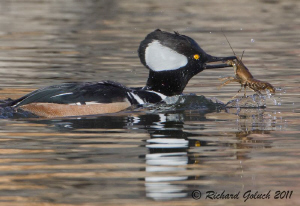 Hooded Merganser Drake feeding on crayfish by Richard Goluch