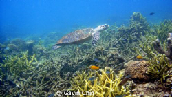 taken at TARP sabah. turtle swimming around by Gavin Chin