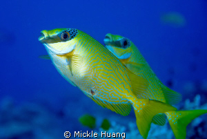 MERRY CHRISTMAS Masked spinefoot Palau by Mickle Huang