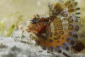 juvenile Sea Robin by Suzan Meldonian