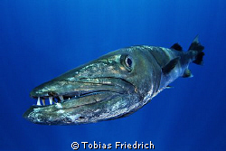 Barracuda straight in front of my dome port. by Tobias Friedrich