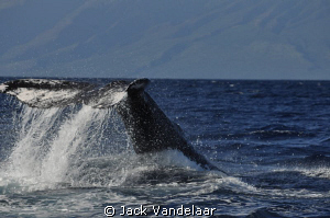 Whale Tail off Maui by Jack Vandelaar