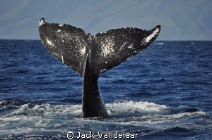 Whale tails everywhere on this whale watching adventure i... by Jack Vandelaar
