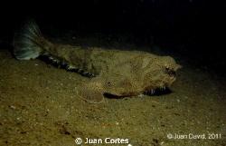 Batfish nearby the shipwreck C-50 Rivapalacio located in ... by Juan Cortes