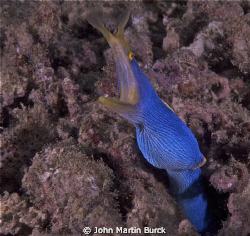 This ribbon eel was a nice surprise near the then of our ... by John Martin Burck