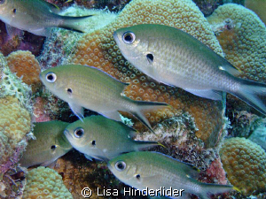 These Chromis are so quick moving- difficult to get a pic... by Lisa Hinderlider
