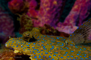 A riot of colors. Peacock Flounder. by John Roach