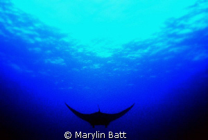 Manta silhouette by Marylin Batt