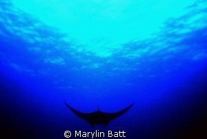 Manta silhouette by Marylin Batt