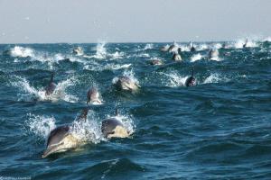 daily cavalcade during sardine-run (south Africa) by Mathieu Foulquié