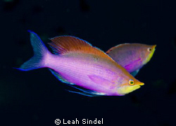 Purple anthias by Leah Sindel