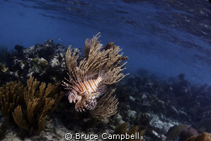 A lion fish hunting for food on the reef in Belize by Bruce Campbell