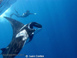 Snorkeling with giant mantas. San Benedicto Island, Revil... by Juan Cortes