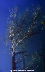 Underwater tree II by Paul Andres Gonzalez