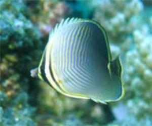 Chaetodon baronessa - The Eastern Triangle Butterflyfish,... by Luiz Rocha